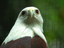 Eagle. Brown eagle from Indonesia with yellow nose royalty free stock photos