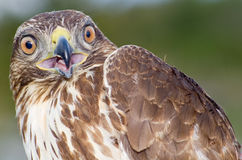 Eagle. Close-up of a bird of prey Stock Photography