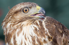 Eagle. Close-up of a bird of prey Stock Image