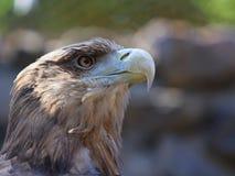 Eagle. Profile of a bald eagle Stock Images