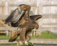 Eagle Royalty Free Stock Photo