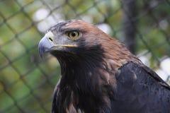 Eagle. Portrait of a beautiful eagle Royalty Free Stock Photos
