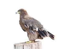 Eagle Royalty Free Stock Image