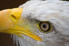 Eagle. Endangered, symbolic, predator, america, hunter, symbol, talon, eagle, white, prey, bald, beak, head, hawk, bird, eye Royalty Free Stock Photo