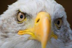 Eagle. Endangered, symbolic, predator, america, hunter, symbol, talon, eagle, white, prey, bald, beak, head, hawk, bird, eye Stock Image
