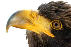 Eagle. Isolated on a white background Royalty Free Stock Images