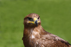 Eagle. Bird of pray on green Stock Photography