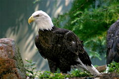 Eagle. Profile of an american bald eagle sitting on a rock royalty free stock images