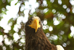 Eagle. Portrait of the big  eagle. Bird of pray Stock Photography