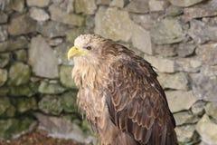 Eagle. Bird of pray closeup Royalty Free Stock Photography