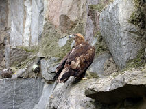 Eagle. Wild bird on the rock Stock Images