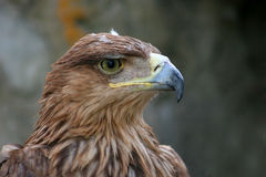 Eagle. Close-up of a eagle in Skopje zoo - Macedonia Stock Images