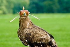 Eagle. With a leather cap Royalty Free Stock Photos