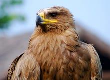 Free Eagle Stock Photos - 14048893