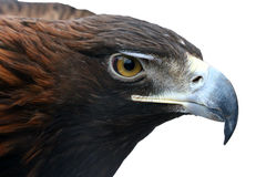 Eagle. Large portrait of Golden Eagle Stock Photo