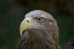 Eagle. High resolution image of eagle stock image