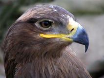 Eagle. Head of an eagle royalty free stock photos