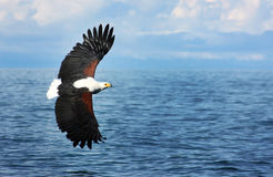 Eagle. An eagle flying on the water of a lake stock photography