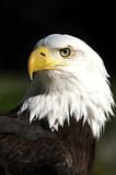 Eagle. Detail of the bald eagle head Royalty Free Stock Photos