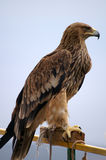 Eagle. On the pole is looking afar Royalty Free Stock Photo