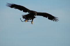 Eagle. In action, searches food Royalty Free Stock Image