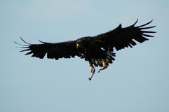 Eagle. In action, searches food Royalty Free Stock Photo