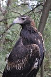 Eagle. Profile of an eagle perched on a branch Stock Photo