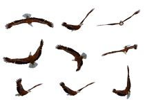 Eagle. S in flight - a kind from different foreshortenings (completely isolated on a white background Stock Illustration