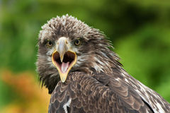 Eagle. With mouth wide open Royalty Free Stock Image