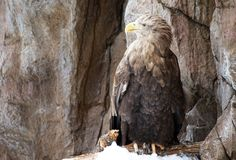 Eagle. An eagle standing in the snow looking to the side Royalty Free Stock Photography