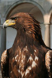 Eagle. Portrait of predators Eagle - front view Stock Photography