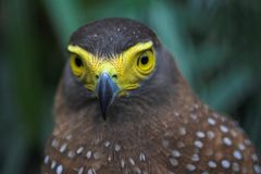 Eagle. A Philippine serpent eagle perching Stock Photography