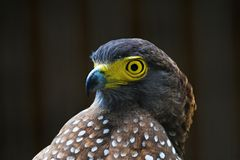 Eagle. A Philippine serpent eagle perching Royalty Free Stock Photos