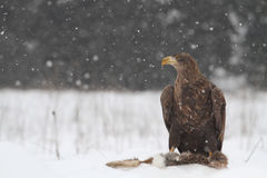 An eagle Royalty Free Stock Photo