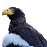 Eagle. Detail view of Eagle Haliaeetus pelagicus Royalty Free Stock Photo