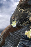 Eagle. Perched on a gloved hand Royalty Free Stock Images