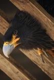 Eagle 2. Inquisitive Eagle peering through the bars of his enclosure Stock Photos