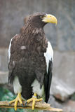 Eagle. Attentively looks around round itself Royalty Free Stock Images