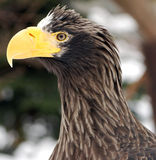 Eagle. 's head with a large beak hischnym Stock Images