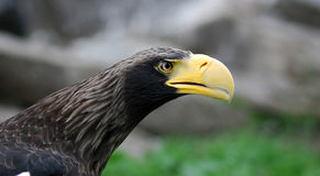 Eagle. 's head with a large beak hischnym Stock Image
