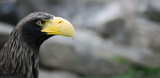 Eagle. 's head with a large beak hischnym Stock Photography