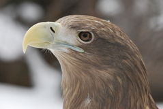 Eagle. 's head with a large beak hischnym Stock Photo