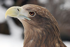 Eagle. 's head with a large beak hischnym Stock Photos