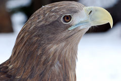 Eagle. 's head with a large beak hischnym Royalty Free Stock Photo