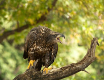 Eagle. Taken at a conservation park that care for injured and sick animals royalty free stock photography
