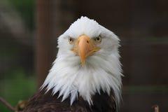 Eagle. A closeup of an bald eagle Stock Image