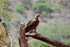 Eagle. An eagle (Aquila nipalensis orientalis) on a dead tree Stock Photo