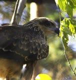 Eagle. Falcon stock photos