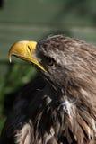 Eagle Stockbild