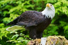 Eagle. North American Bald Eagle standing on a stump stock photos